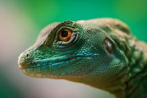 Green Lizard Reptile Macro 4k Wallpaper