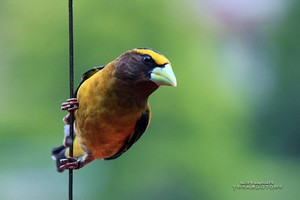 Grosbeak Bird Wallpaper