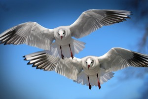 Gulls Seabirds Wallpaper