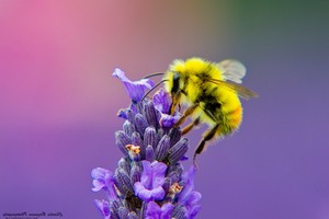 Honey Bee Lavendar Nectar