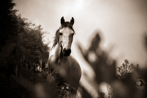 Horse Grayscale Wallpaper