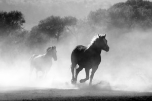 Horses Running Dust Monochrome 4k Wallpaper