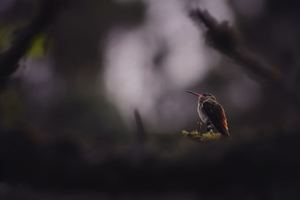 Humming Bird Sitting Down Wallpaper