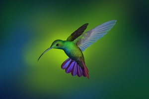 Hummingbird Hd Wallpaper