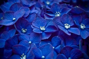 Hydrangea Blue Flower Wallpaper