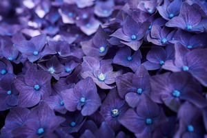 Hydrangea Violet Flowers Wallpaper