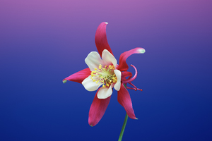 Ios 11 Flower Aquilegia