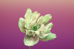 Ios 11 Flower Helleborus Wallpaper