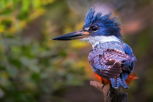 Kingfisher Hd Wallpaper