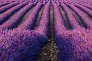 Lavender Farm 5k Wallpaper