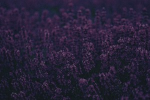 Lavender Wallpaper
