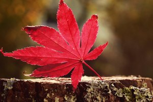 Leaf Red Wallpaper