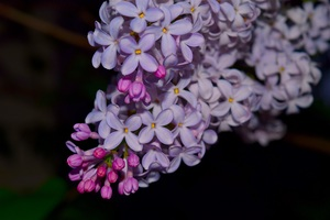 Lilac Flowers Wallpaper