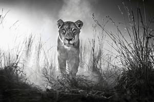 Lion 4k Black And White Wallpaper
