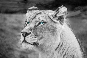 Lion Blue Eyes Monochrome 5k Wallpaper