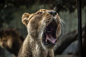 Lion With Open Mouth 5k Wallpaper