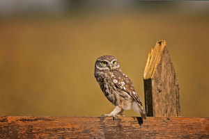 Little Owl 4k