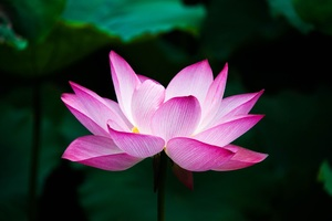 Lotus Flower 4k Wallpaper