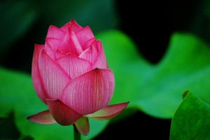 Lotus Flower Pink Wallpaper