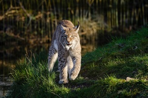 Lynxes Wallpaper