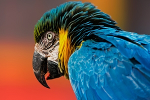 Macaw Bird Wallpaper