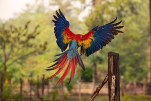 Macaw Flight Feathers Wallpaper