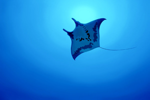 Manta Ray 4k Wallpaper