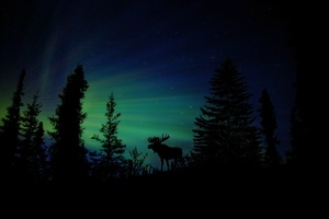 Moose Forest Animal Dawn Silhouette Aurora