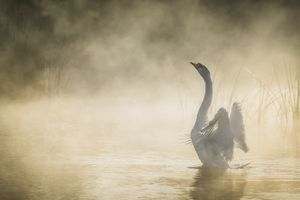 Mute Swan In Pond Wallpaper