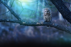 Owl Nature Forest Wallpaper
