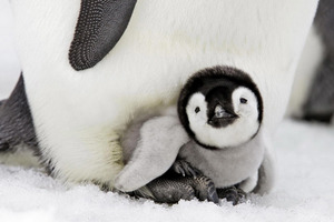 Penguin Baby Wallpaper