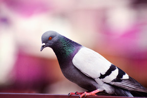 Pigeon Wallpaper