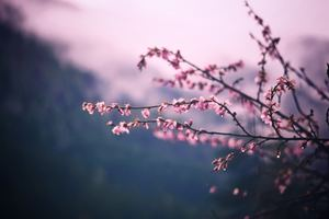Pink Blossom Tree Branch Spring 5k Wallpaper