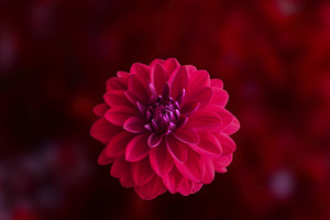 Pink Dahlia Flower Wallpaper