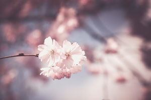 Pink Flower Tree Bloom Spring Wallpaper