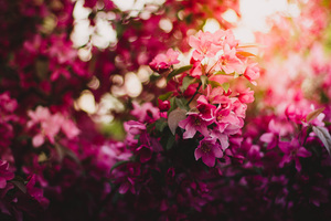 Pink Flowers On Tree 5k Wallpaper