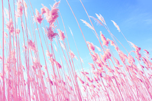 Pink Grass On Fields Wallpaper