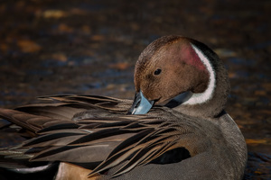 Pintail Duck Wallpaper