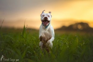 Pitbull Dog Breed Running Wallpaper
