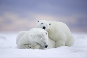 Polar Bears Cold Snow Wallpaper