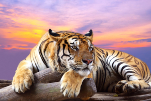 Predator Tiger Sunset