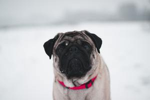 Pug In Snow 5k Wallpaper
