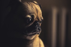 Pug Sad Wallpaper