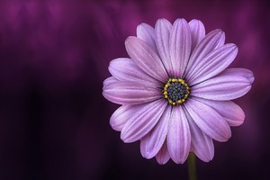 Purple Daisy Flower Wallpaper