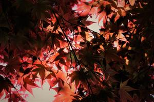 Red Autumn Season Leaves Wallpaper