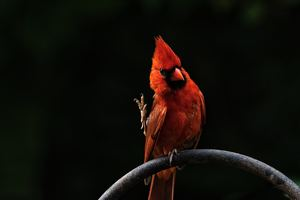 Red Bird Feathers Wallpaper