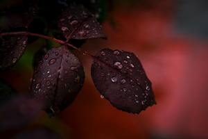 Red Leaf Droplets Dewdrops Macro Rain 4k Wallpaper