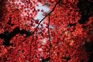 Red Leaves Tree Close Up 5k Wallpaper