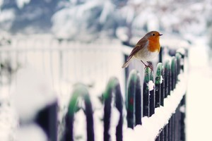Robins In Snow
