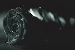 Rose Monochrome Flora Dew Waterdrops Wallpaper